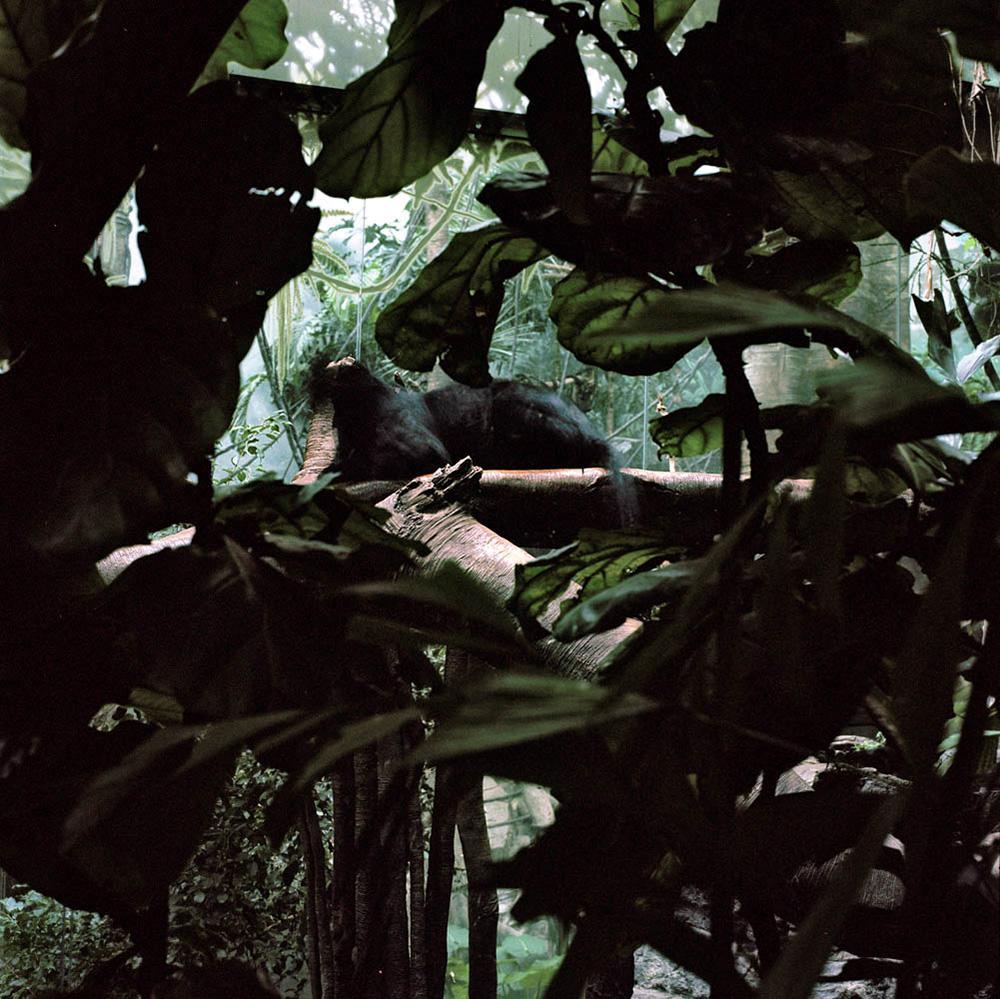 Pantère noire