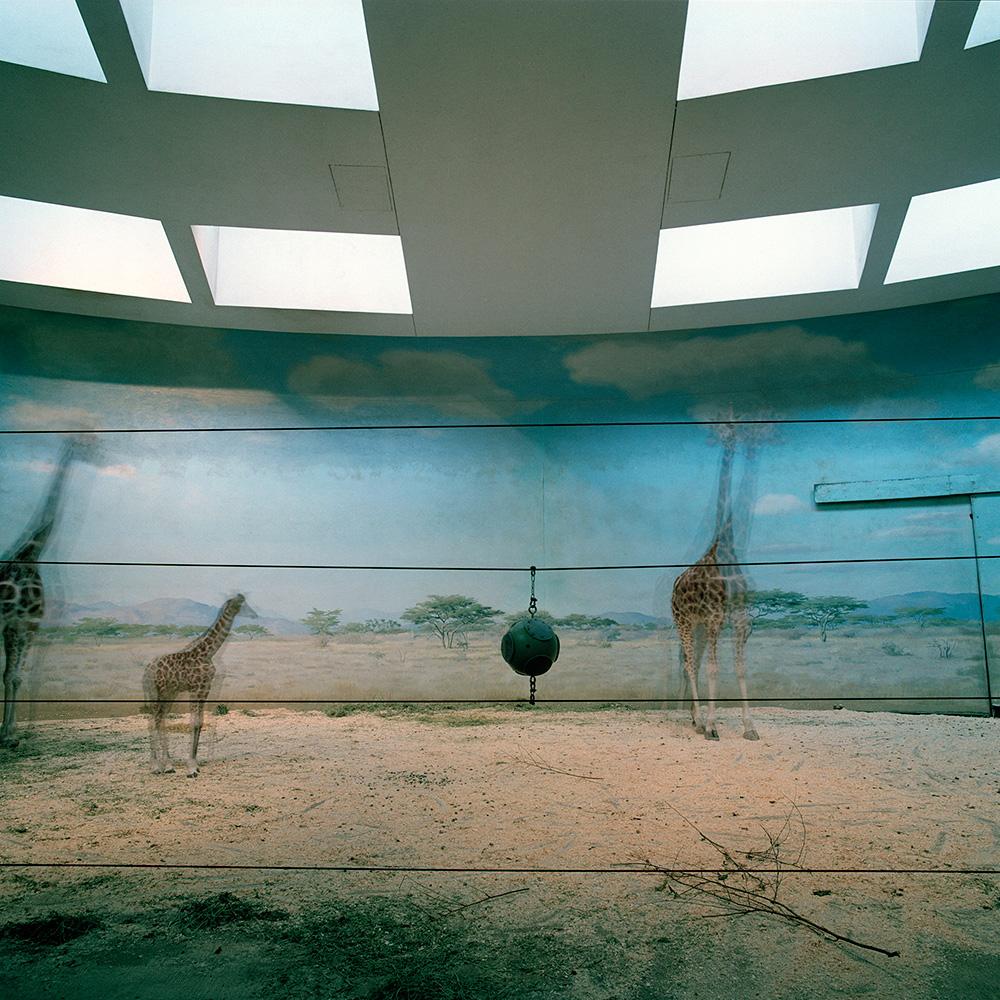 Zoo Giraffes Bronx